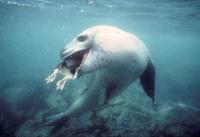 水中でアデリーペンギンを捕食するヒョウアザラシ