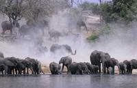 水を飲むアフリカゾウの群れ