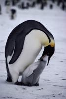 生後3週間のヒナに吐き戻して給餌するコウテイペンギン(エンペ