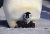 親の足の上に乗って暖をとる生後2週間のコウテイペンギン(エン