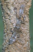 木の幹にいるマダガスカルヘラオヤモリ 32236001724| 写真素材・ストックフォト・画像・イラスト素材|アマナイメージズ