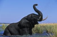 水浴びをするアフリカゾウ