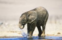 鼻で水をかけ水浴びをするアフリカゾウの子