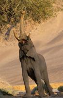鼻を使って高木の葉を食べるアフリカゾウ