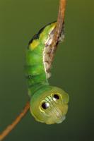 ヘビの頭に似せた目玉模様を持つカイコガの仲間
