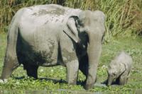 沼地で採食するインドゾウの親子 32236001813| 写真素材・ストックフォト・画像・イラスト素材|アマナイメージズ