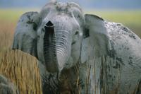 鼻を持ち上げるインドゾウ
