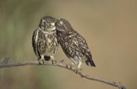 コキンメフクロウのペアの求愛ディスプレイ 32236001824| 写真素材・ストックフォト・画像・イラスト素材|アマナイメージズ