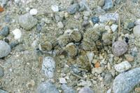 巣で石に擬態するコチドリのヒナ