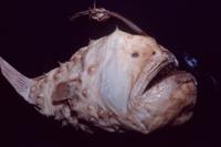 チョウチンアンコウ (標本)