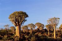 タカロカイ(アロエ・ディコトマ)の森の風景