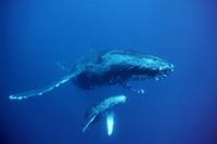 ザトウクジラの母子 32236001876  写真素材・ストックフォト・画像・イラスト素材 アマナイメージズ