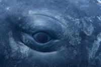 マッコウクジラの目