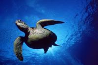 泳ぐアオウミガメ 下から撮影 32236001901| 写真素材・ストックフォト・画像・イラスト素材|アマナイメージズ