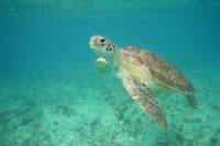 泳ぐアオウミガメ 32236001909| 写真素材・ストックフォト・画像・イラスト素材|アマナイメージズ