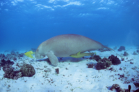ジュゴンとコバンザメの仲間とコガネシマアジの幼魚