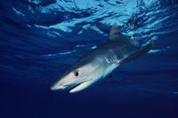 イタチザメの若魚 32236001939  写真素材・ストックフォト・画像・イラスト素材 アマナイメージズ