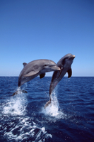 ジャンプする二頭のハンドウイルカ(バンドウイルカ) (飼育下