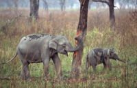 木の皮を剥がすインドゾウの母子