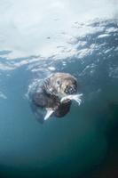 水中でイカを食べるラッコ