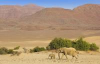 砂漠を移動するアフリカゾウの親子