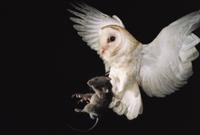 ネズミを捕まえて飛ぶメンフクロウ
