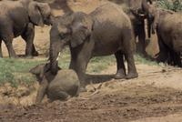 子が泥浴びするのを気づかうアフリカゾウ 32236002089| 写真素材・ストックフォト・画像・イラスト素材|アマナイメージズ