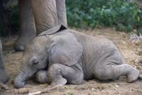休息するアフリカゾウの赤ちゃん