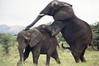 交尾しようとするアフリカゾウ