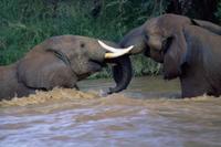 川の中でケンカするアフリカゾウ 32236002095| 写真素材・ストックフォト・画像・イラスト素材|アマナイメージズ