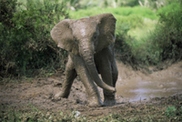 泥浴びで泥だらけになったアフリカゾウの子