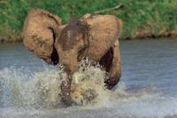 水浴びをするアフリカゾウの子