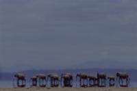 陽炎の中のアフリカゾウの群れ (蜃気楼)