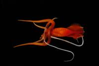 獲物を捕まえるための二本の長い白い触手を持つムチイカの仲間