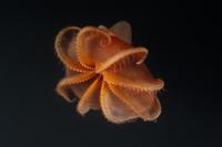 棘毛をもつ深海性のタコ  (水深800メートル) 32236002118  写真素材・ストックフォト・画像・イラスト素材 アマナイメージズ