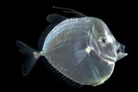 シロガネアジ(ルックダウン)の幼魚  (深海) 32236002120  写真素材・ストックフォト・画像・イラスト素材 アマナイメージズ