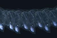 ホンヒメサルパの連鎖個虫 (深海) 32236002123  写真素材・ストックフォト・画像・イラスト素材 アマナイメージズ