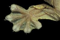 クールトビヤモリ(パラシュートゲッコー)の水かきのついた足指 32236002129| 写真素材・ストックフォト・画像・イラスト素材|アマナイメージズ