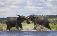 川でケンカする二匹のアフリカゾウ
