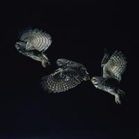 飛び立つコキンメフクロウ (マルチストロボ撮影)