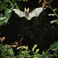 カシの葉の間を飛ぶウサギコウモリ