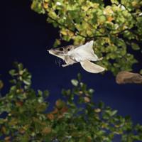 飛び立つアメリカモモンガ