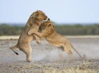 遊びの一環としてもケンカするライオンの若いオス