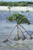 支柱根を伸ばすヤエヤマヒルギの仲間