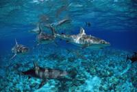 オグロメジロザメの群れ 32236002204  写真素材・ストックフォト・画像・イラスト素材 アマナイメージズ