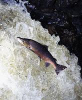 ジャンプして川を上るタイセイヨウサケ 32236002206| 写真素材・ストックフォト・画像・イラスト素材|アマナイメージズ