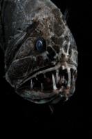 オニキンメの顔 (深海)