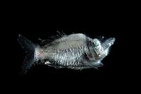 デメニギスの仲間 (深海) 32236002329  写真素材・ストックフォト・画像・イラスト素材 アマナイメージズ
