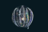 テマリクラゲの仲間(深海) 32236002357  写真素材・ストックフォト・画像・イラスト素材 アマナイメージズ
