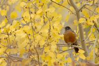 ポプラの木にとまるコマツグミのオス 32236002363| 写真素材・ストックフォト・画像・イラスト素材|アマナイメージズ